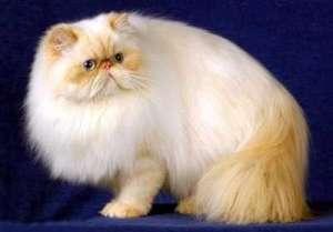 介绍5种最友善的猫咪-猫咪品种